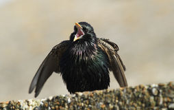 A stunning adult Starling, Sturnus vulgaris, displaying and singing perched on a wall. stock image