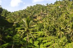 Stunning aerial drone view of beautiful Bali island tropical landscape with palm trees jungle and rice field terrace under a sunri. Se blue sky in Asia travel Stock Photography