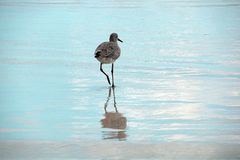 Stunning Aqua Blue Water Reflects Gray Bird Walking to the Sea stock image