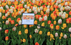 Stunning array of tulips with signs posting species, annual Tulip Festival, Albany, New York, 2016 Stock Photos
