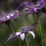 Stunning artistic image of African Daisy with selective focus ma Stock Image