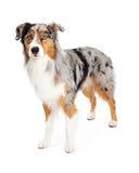 Stunning Australian Shepherd Dog Standing Stock Images