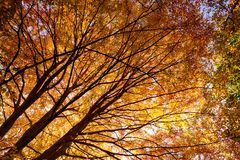 Stunning autumn English trees. Forest trees in full autumn colour. Morning sunlight bursting through the trees making them look like fire flames of orange and Stock Photography