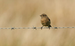 A stunning baby Stonechat bird Saxicola torquata perched on a barbed wire fence. Royalty Free Stock Images