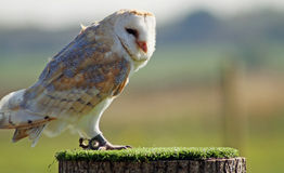 Stunning barn owl Royalty Free Stock Photos