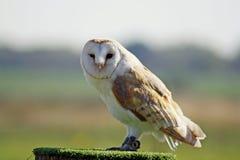 Stunning barn owl Stock Image