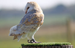 Stunning barn owl Stock Photos