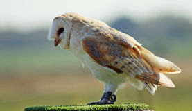 Stunning barn owl Royalty Free Stock Photo