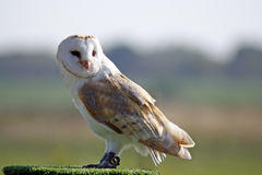 Stunning barn owl Royalty Free Stock Images