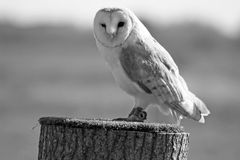 Stunning barn owl Stock Photo
