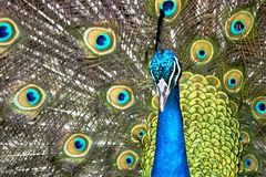 Stunning and beautiful challenging look. Showing himself in all his majesty is this beautiful peacock staring, at the point of raising his pelican, in a royalty free stock photos