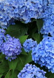 Stunning beauty of blue Hydrangea Stock Image