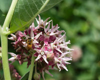 Stunning bee on a swamp milkweed flower. Having a drink royalty free stock photo