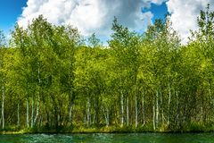 Stunning birch forest near the lake. Landscape with stunning birch forest near the like.Beautiful spring day with very nice blue sky with soft clouds.Many of Royalty Free Stock Images