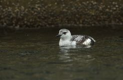 A Black Guillemot Cepphus grylle swimming in the harbour in Eastbourne, Uk. royalty free stock images