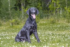 A stunning black labrador retriever sitting on a green lawn in Finland. It`s slim and hunting dog royalty free stock photography