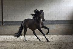 Stunning black stallion horse galloping in the arena. Portrait of an amazing black stallion horse galloping in the sand showing all his strength and beauty royalty free stock photo