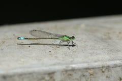 A stunning Blue-tailed Damselfly Ischnura elegans perching on a bridge. royalty free stock photography
