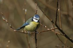 A stunning Blue Tit Cyanistes caeruleus perched on the branch of a pussy willow tree. A pretty Blue Tit Cyanistes caeruleus perched on the branch of a pussy Royalty Free Stock Image