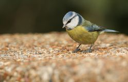 A stunning Blue Tit Cyanistes caeruleus searching around for food on concrete bridge. A pretty Blue Tit Cyanistes caeruleus searching around for food on Royalty Free Stock Photography