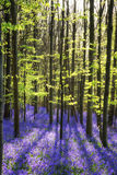 Stunning bluebell flowers in Spring forest landscape Stock Photos