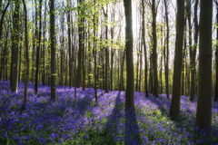 Stunning bluebell flowers in Spring forest landscape Royalty Free Stock Photos