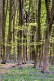 Stunning bluebell flowers in Spring forest landscape Stock Image