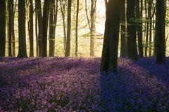 Stunning bluebell forest landscape image in soft sunlight in Spring. Beautiful bluebell forest landscape image in morning sunlight in Spring royalty free stock photos