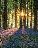 Stunning bluebell forest landscape image in soft sunlight in Spring. Beautiful bluebell forest landscape image in morning sunlight in Spring stock photo