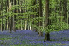Stunning bluebell forest landscape image in soft sunlight in Spring. Beautiful bluebell forest landscape image in morning sunlight in Spring royalty free stock photography
