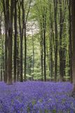 Stunning bluebell forest landscape image in soft sunlight in Spring. Beautiful bluebell forest landscape image in morning sunlight in Spring royalty free stock photo