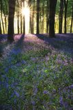 Stunning bluebell forest landscape image in soft sunlight in Spring. Beautiful bluebell forest landscape image in morning sunlight in Spring stock photos