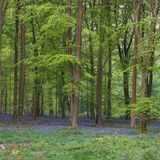 Stunning bluebell forest landscape image in soft sunlight in Spring. Beautiful bluebell forest landscape image in morning sunlight in Spring royalty free stock images