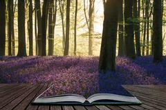 Stunning bluebell forest landscape image in soft sunlight in Spring coming out of pages in magical story book. Beautiful bluebell forest landscape image in royalty free stock photo