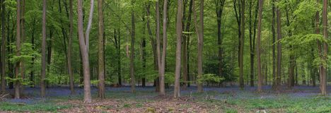 Stunning bluebell forest panoramic landscape image in soft sunlight in Spring. Beautiful bluebell forest panorama landscape image in morning sunlight in Spring royalty free stock photo