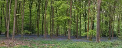 Stunning bluebell forest panoramic landscape image in soft sunlight in Spring. Beautiful bluebell forest panorama landscape image in morning sunlight in Spring stock photography