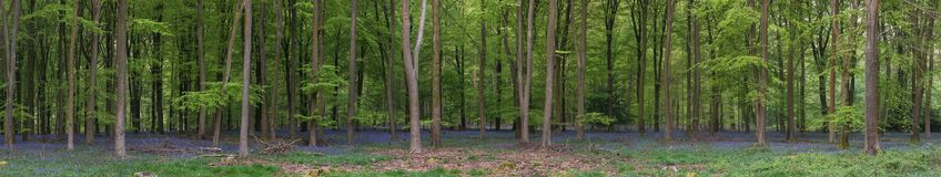 Stunning bluebell forest panoramic landscape image in soft sunlight in Spring. Beautiful bluebell forest panorama landscape image in morning sunlight in Spring royalty free stock images