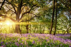 Stunning bluebell forest in spring sunrise Royalty Free Stock Photography