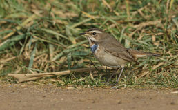 A stunning Bluethroat, Luscinia svecica, standing at the edge of the grass. Stock Photos