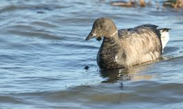 A Brent Goose Branta bernicla feeding on the shoreline in the sea at high tide. stock photography