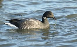 A Brent Goose Branta bernicla feeding on the shoreline in the sea at high tide. stock photos