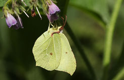 A stunning Brimstone Butterfly Gonepteryx rhamni nectaring on a Comfrey flower Symphytum officinale. Royalty Free Stock Photography