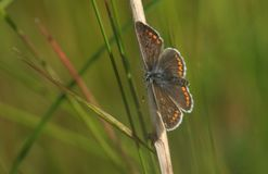 A pretty Brown Argus Butterfly Aricia agestis resting on a plant stem with its wings open. Royalty Free Stock Photo