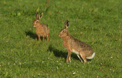 Stunning Brown Hare Lepus europaeus in a grassy field. Royalty Free Stock Photos