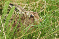 A stunning Brown Hare Lepus europaeus hiding in the long grass. Stock Image