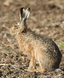 A stunning Brown Hare Lepus europaeus sitting in a field . Royalty Free Stock Images