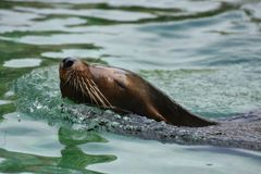 Stunning Brown Sea Lion in the Water. Stunning Look at a Sea Lion Swimming Royalty Free Stock Images