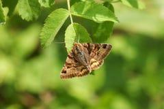 A pretty Burnet Companion Moth Euclidia glyphica perching on a leaf. A stunning Burnet Companion Moth Euclidia glyphica perching on a leaf royalty free stock images