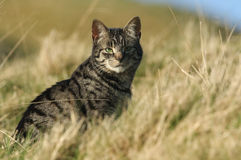 A stunning Cat, Felis catus, sitting in the Moors of Durham. Royalty Free Stock Images