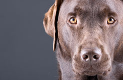 Stunning Chocolate Labrador against Grey Royalty Free Stock Photography